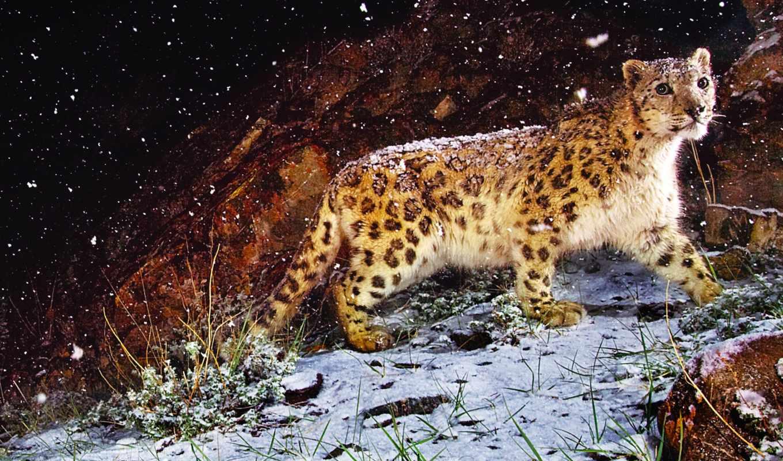 снег, леопард, mac, картинка, steve, apple, зверек, cvety, winter, art,