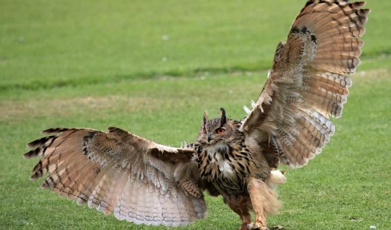филин, крылья, pinterest, сова, pin, discover, pins, own, save, discovered,