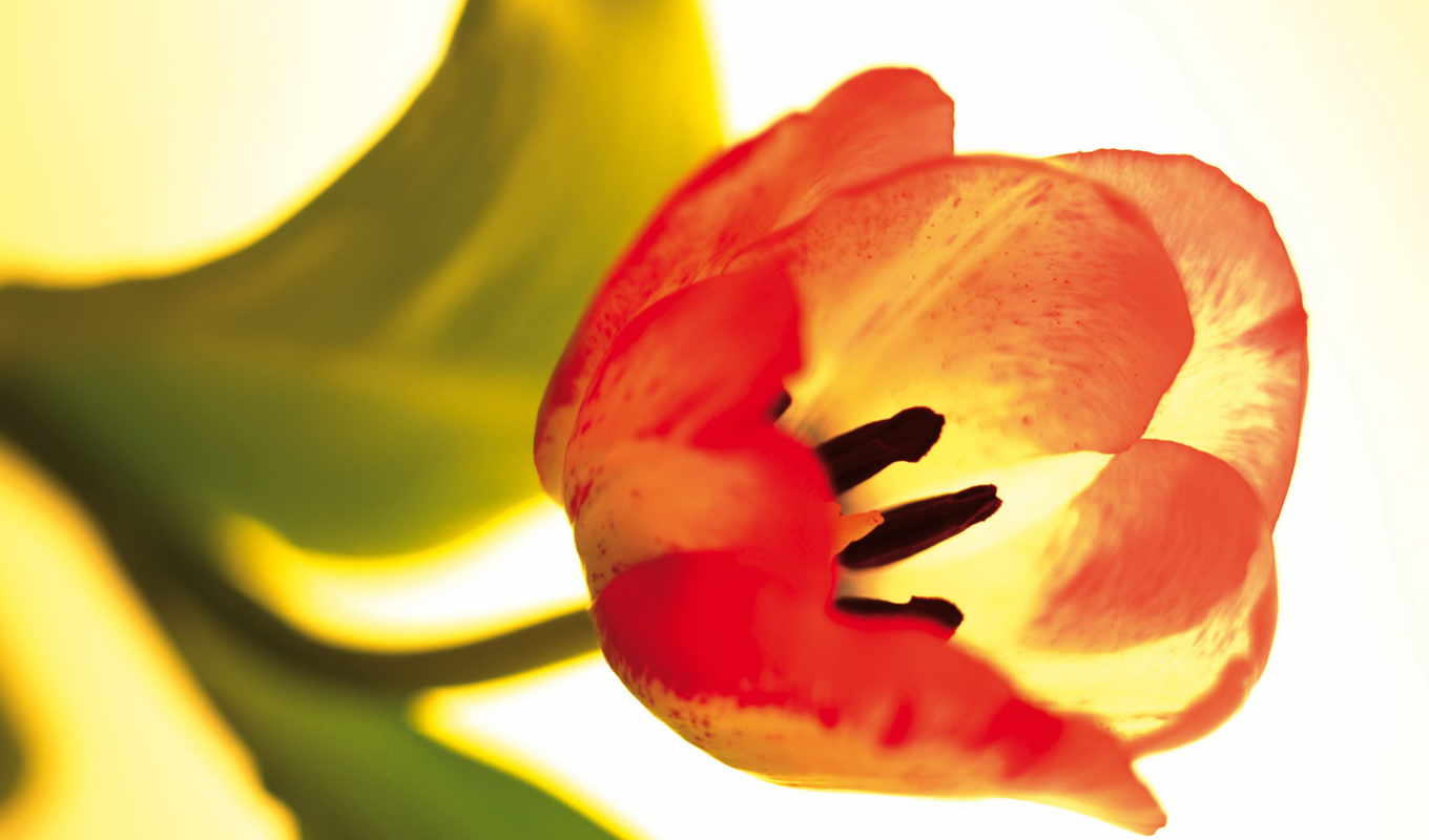 wallpaper, and, flowers, tulip, wallpapers, flower, download, view, full, pantalla,