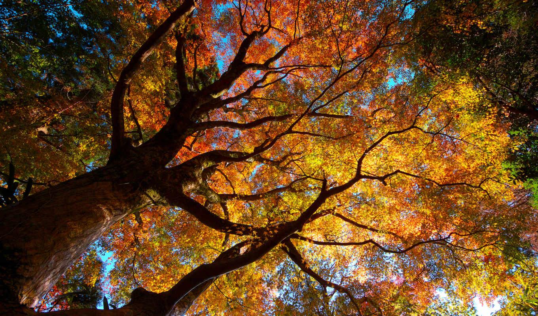 природа, листва, кроны, осень, деревья, tree, giant, картинка,