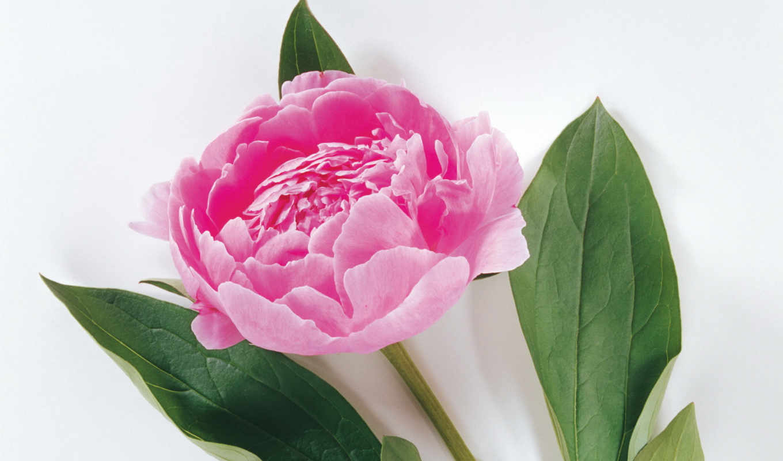 пион, частица, элементарная, цветы, картинку, edit, пионы, розовый,