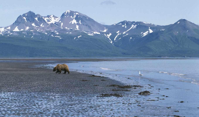 аляска, zhivotnye, emerald, браун, медведь, strolling, coastline, ours,