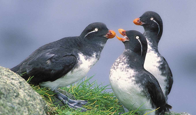 parakeet, birds, аляска, auklets, auklet, телефон, animals, птиц, mobile, выпуск,