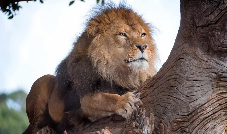 lion, share, subscribe, животных, день,