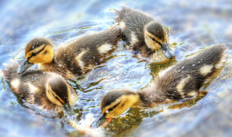 хоровод, птенцы, вода, животные, komentarz, утята, утки,