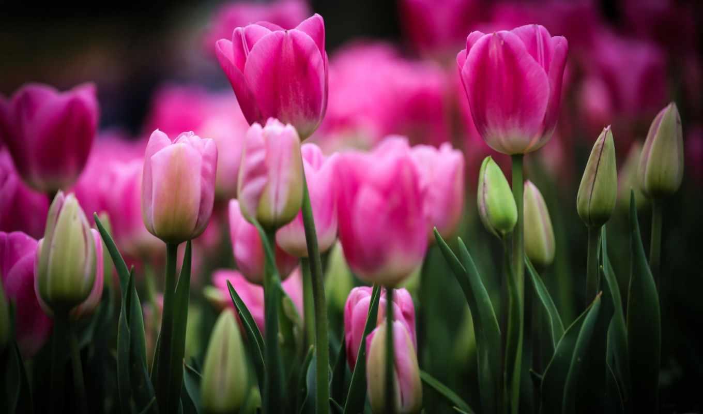 тюльпаны, цветы, розовые, бутоны,