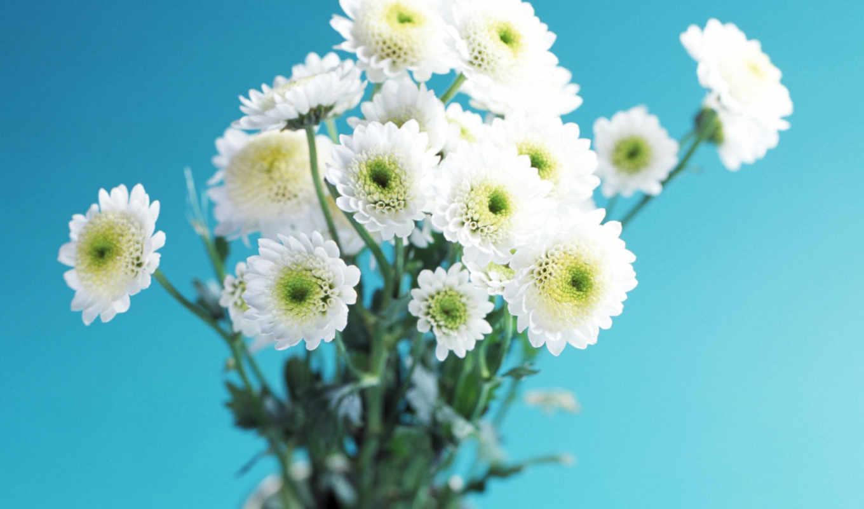 хризантемы, белые, flowers, заставки, увага,
