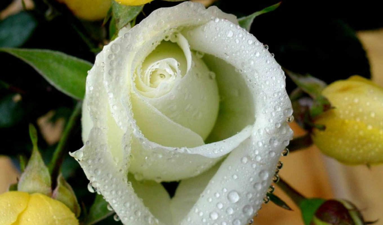 ,розы, белые, красивые, роз, everything,