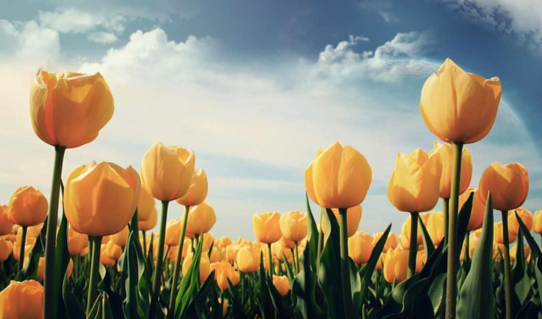 тюльпаны, желтые, цветы, просмотров,