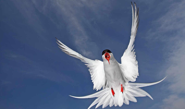 arctic, крачка, самых, птица, птички, тег, фокс, foxes,