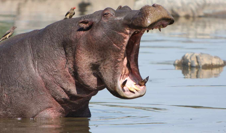 behemoth, бегемоты, яndex, носорога, против, natali, андрей, ук, их,