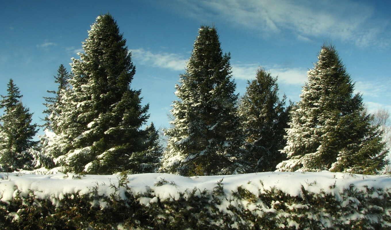 елки, снег, рождество, snow, июне, лес, ели, небо, зима, картинка, снегу, wallpapers, деревья, firs, wallpaper, desktop,
