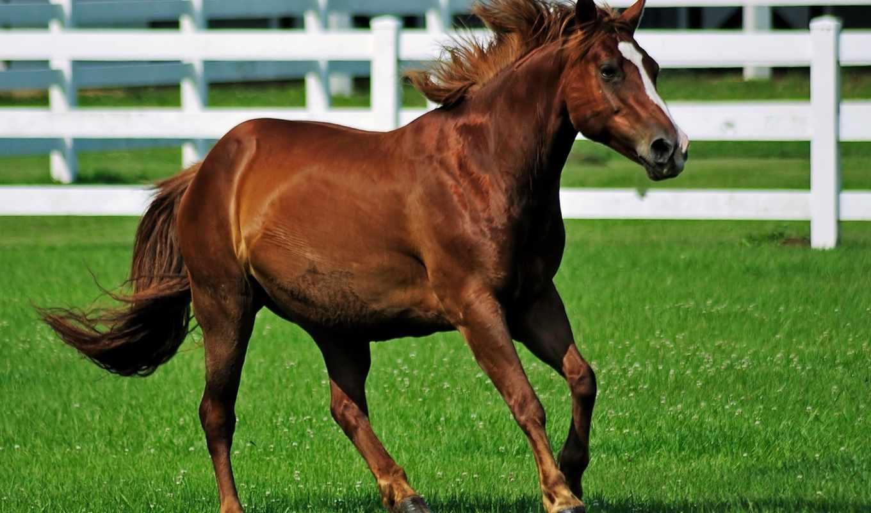 лошадь, desktop, девушка, браун,