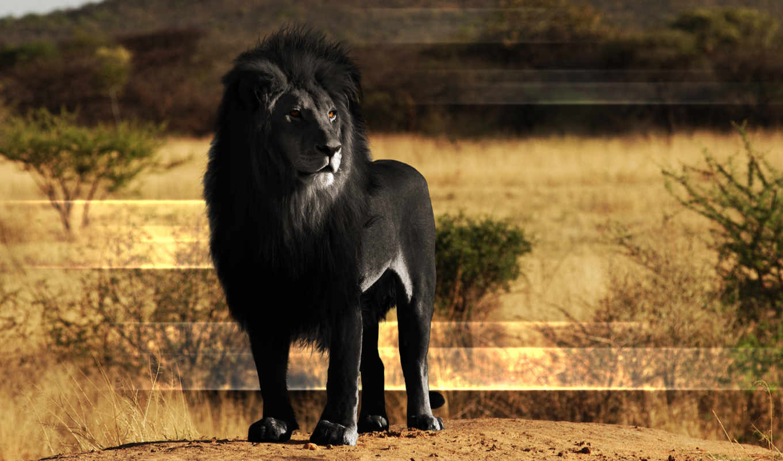 lion, black, zhivotnye, animal, jaguar,