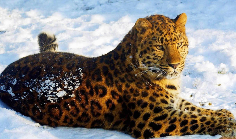 леопард, amur, леопарда, амурского,