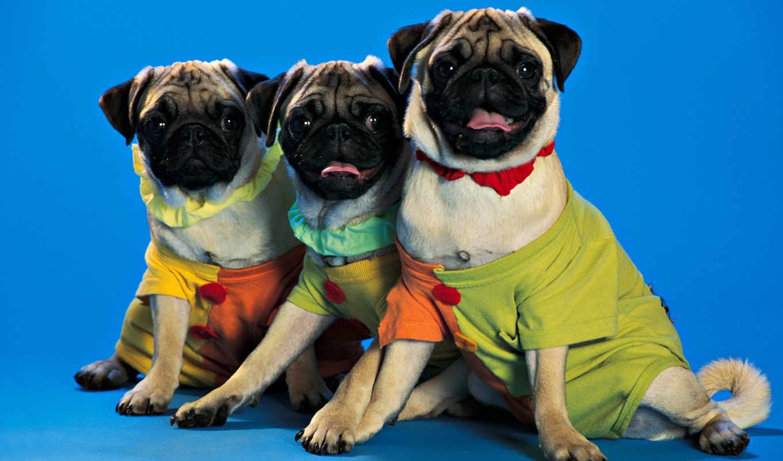 funny, dog, puppy, animals, clothes, собаки, costume, чуда, шпалери, три, відтінку, сорочках, світлого, тварини,
