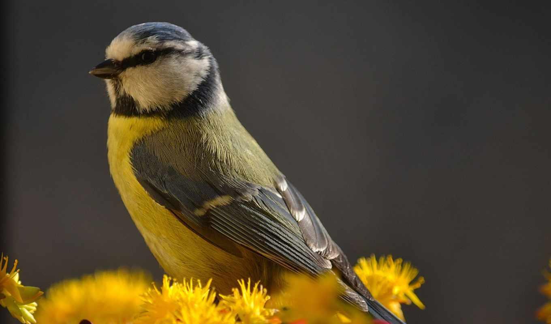 yellow, bird,