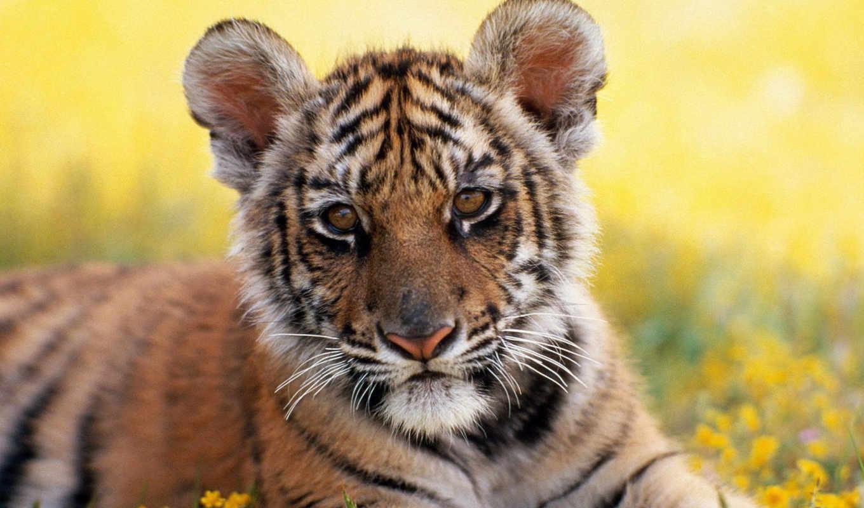 тигры, тигр, животные, детёныш,