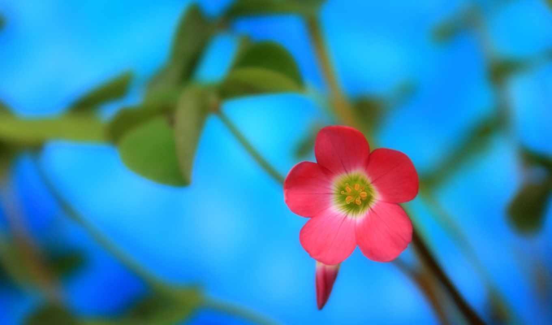 цветы, природа, розовый,