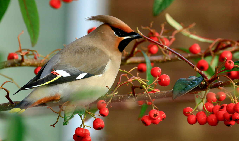 ветка, птица, птицы, ягоды, osen, priroda, kartinka,