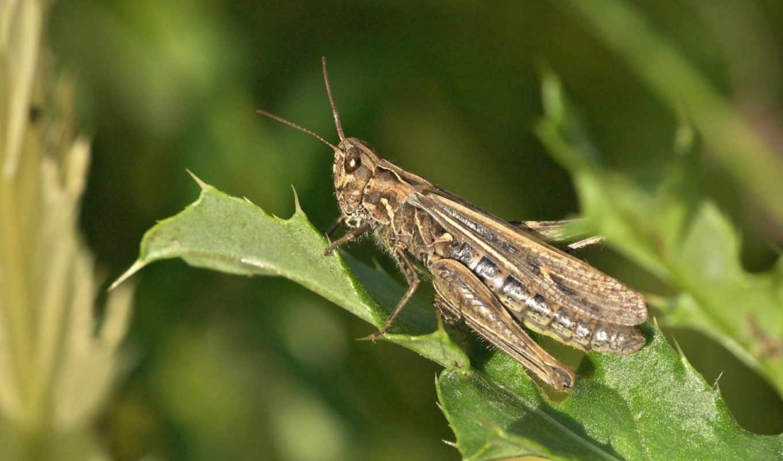 locust, кузнечики, животные, times,