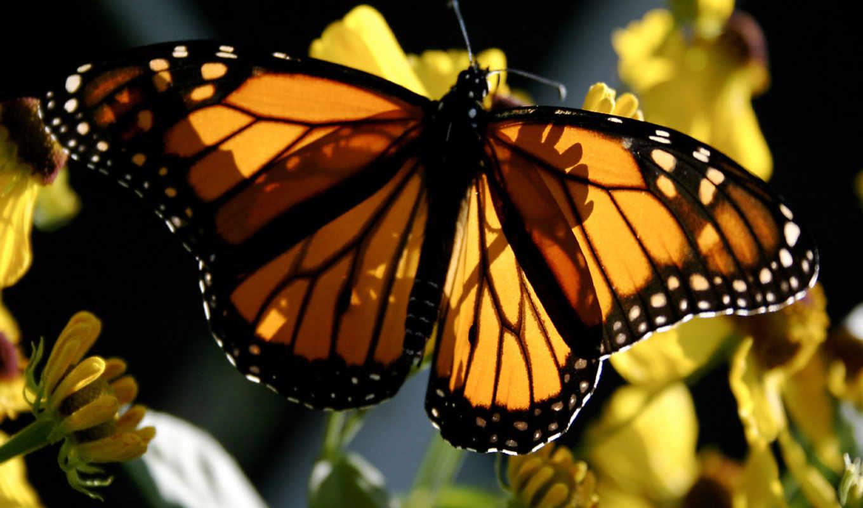 бабочка, yellow, монарх, black, free, you,
