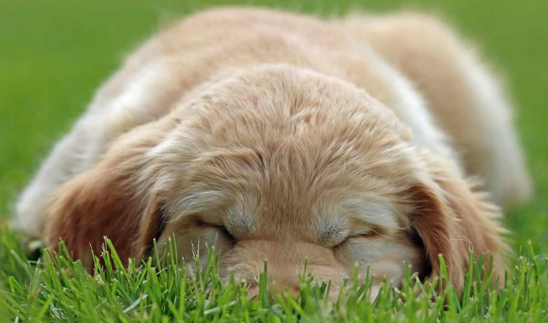 щенок, sleeping, dogs, собака, puppies, desktop, best,