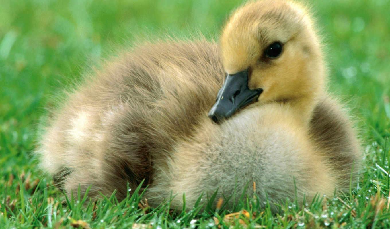 duck, desktop, тлумачний, gosling, ente, descargar, животными, словник, you, cute, elephant, zadań, bild, української, gras, this, мови, animals,