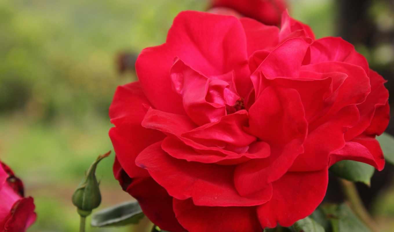 цветы, роза, desktop, red, flowers, roses,