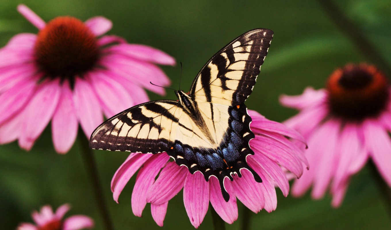 бабочка, бабочки,