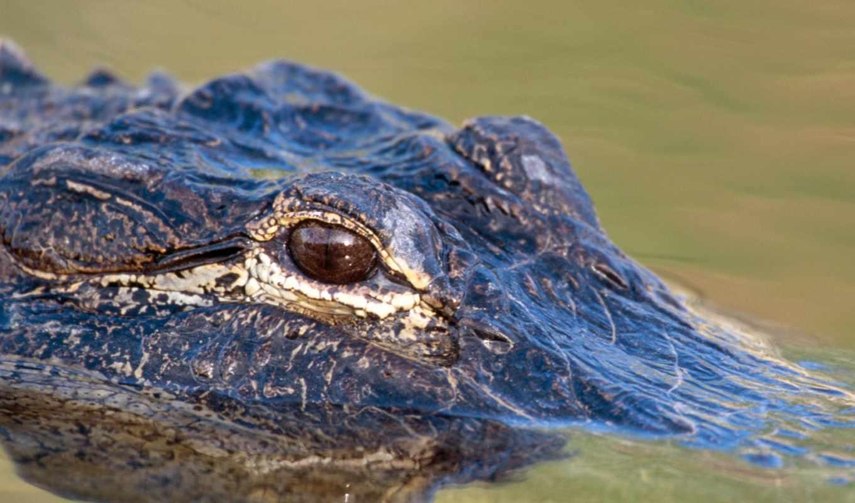 крокодила, глаз, крокодилы, свет, zhivotnye,