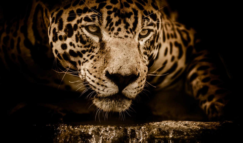 animals, desktop, resolutions, jaguar, puzzle, showdown, amazing, ultra,
