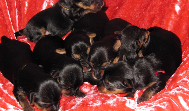 собака, бультерьер, йоркширский, free, щенки, zhivotnye, собаки,