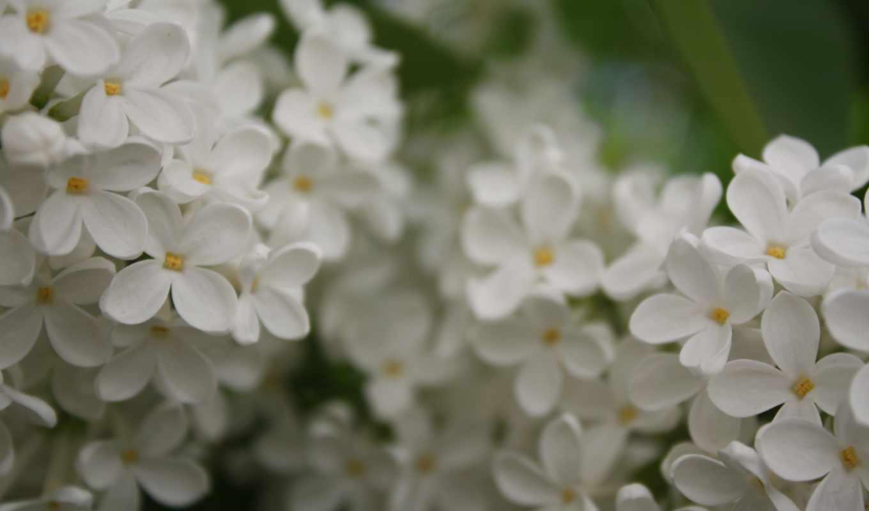 сирень, белая, ветка, сирени, white, цветет, лето,