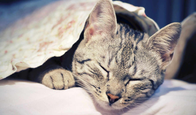 коты, кот, кошки, red, sleeping, фотографии, заставки, tail, пушистый,