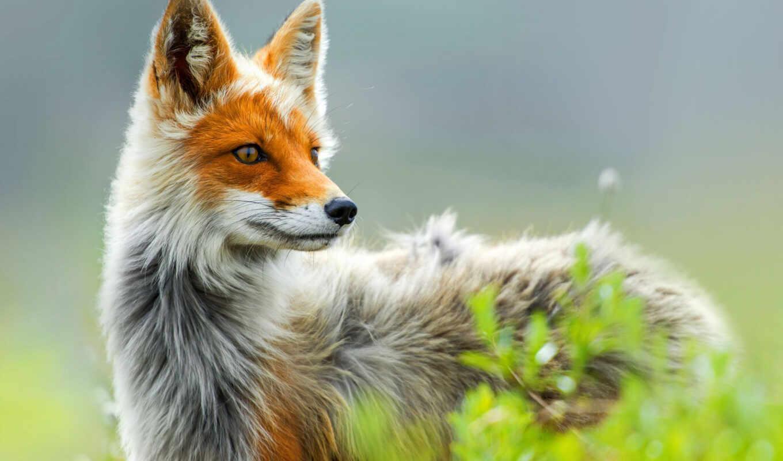 фокс, лиса, природа, red,