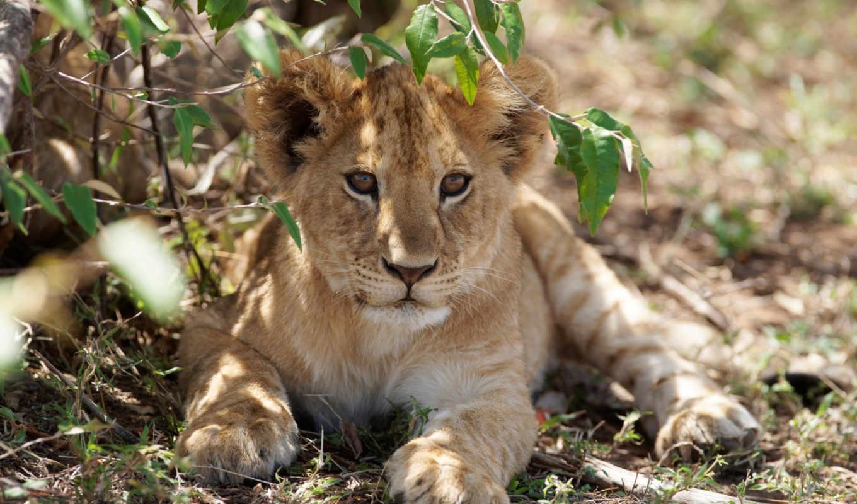 коллекция, львы, земле,