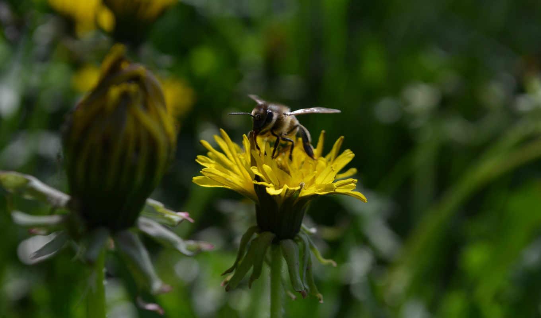макро одуванчик животное насекомое пчела цветы природа  № 3007257 бесплатно