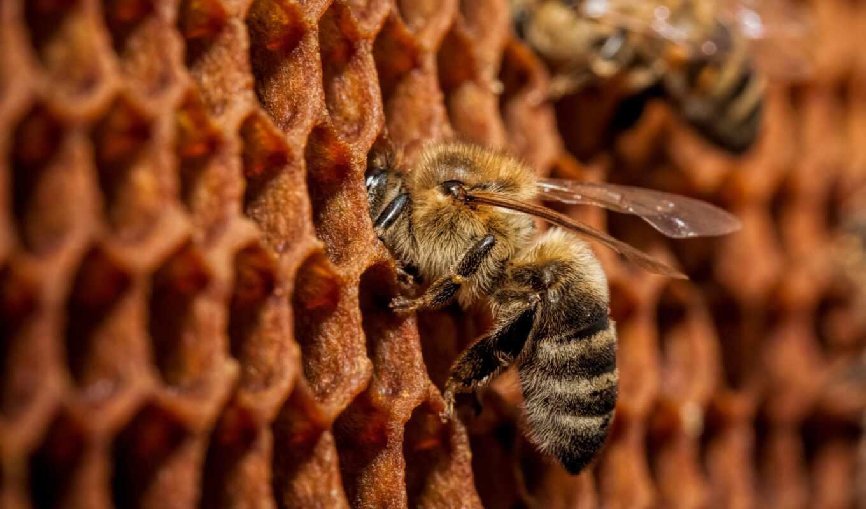 pchelopaket, пчелка, мед, animal, apis, объявление, free, доска, ферма, tolmachev