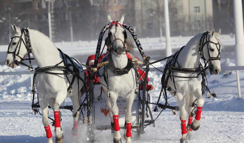три, лошадей, лошади, заснеженному, мчится, полу, коллекция, ездовым,