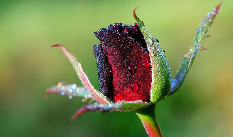 роза, капли, роса, макро, цветы, бутон, розы,