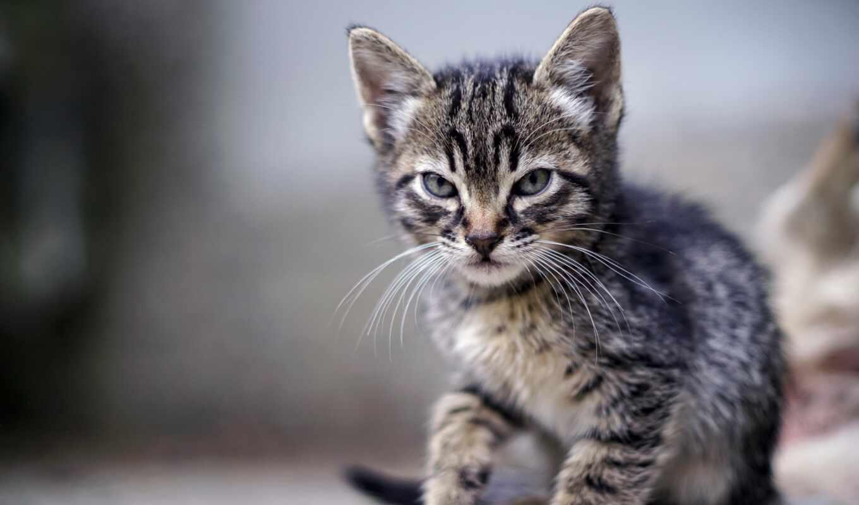 злой, котенок, striped, кот, брови, previe, недовольный, disturb, агрессия, animal