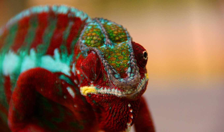 chameleon, animal, presmykatsya, reptile, color, устройство, компьютер, планшетный, smartphone