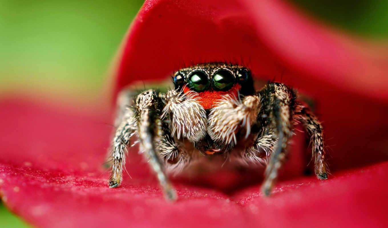 паук, макро, crab, изображения, поделиться, вернуться, insects, bugs,