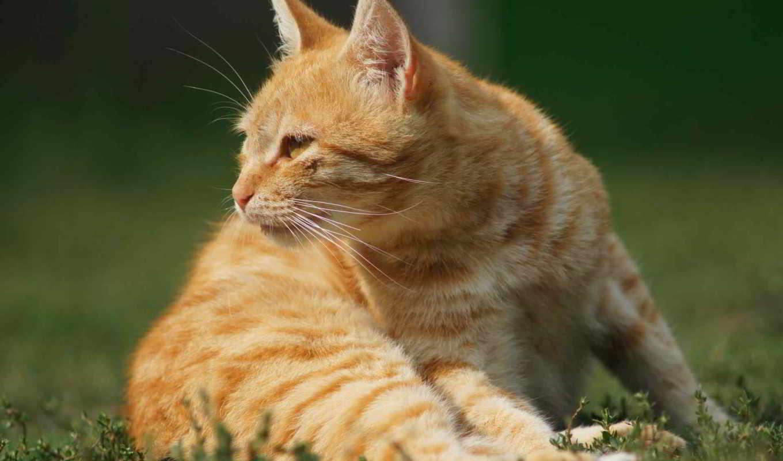рыжий кот природа морда животное скачать