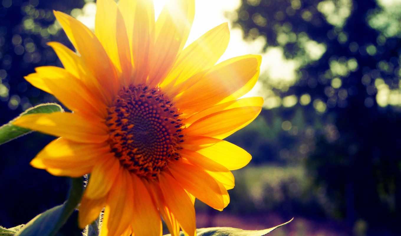 summer, sun, подсолнух, ray,