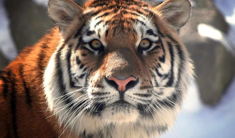 дикой, день, природы, природу, world, ilona, тигра, тигров, дикую, особей, wwf,