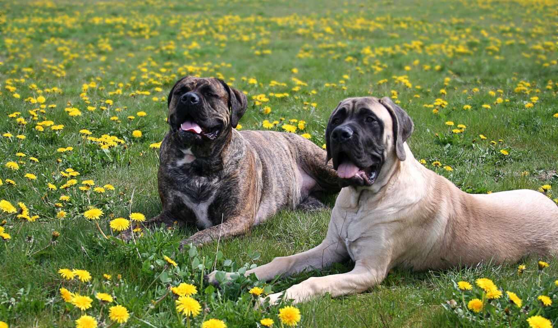 bullmastiff, mastiff, собака, порода, mobile, планшетный