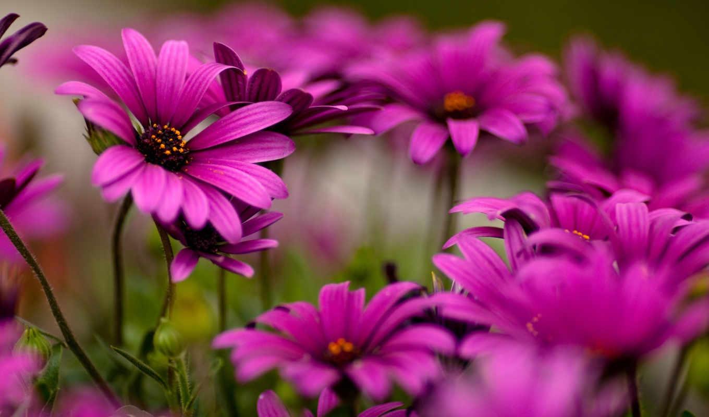 цветы, макро, пурпурные, маргаритки, природа, красота, левой, кнопкой, хорошее, вернуться, качество, кнопку, кликнуть, же, мышки, обою, нажав, daisies, обоине, сверху, purple, яркие, разрешении, подел