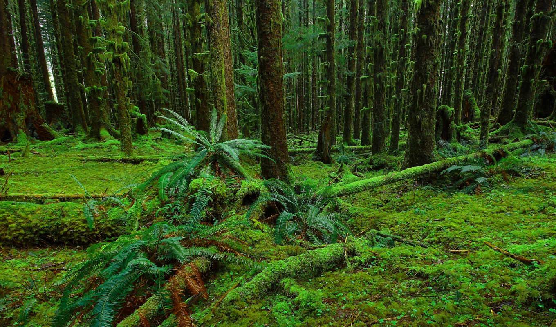 лес, папоротник, фон, природа, мох, деревья, trees,